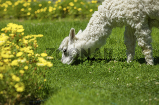 Baby lama feeding on grass surrounded with yellow flowers