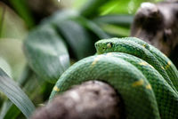 Pit viper in the jungle
