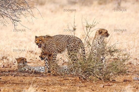 Vier Geparde im Kruger Nationalpark, Südafrika; cheetahs at Kruger National Park, South Africa, Acinonyx jubatus