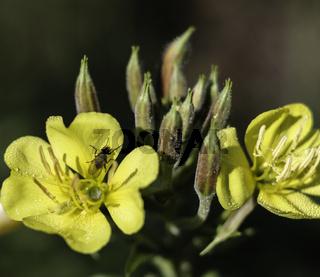 Raps (Brassica napus), Kreuzblütengewächs (Brassicaceae)