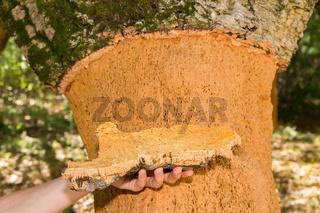 Hand holding Cork tree bark at tree trunk