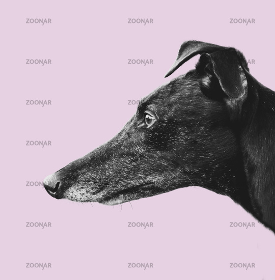 Greyhound Profile Design