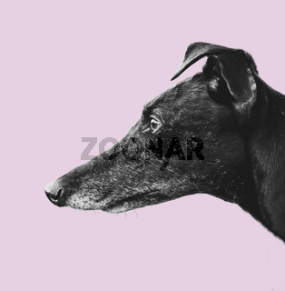 Greyhound Profile Design