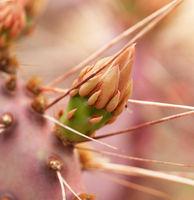 Blütenknospe Kaktus