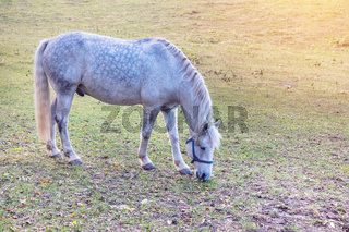 Dapple gray horse grazing in autumn pasture. Sunny day. Close-up