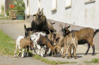 Zwergziegen / Pygmy Goats