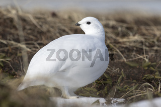 Rock Ptarmigan female tundra in early spring