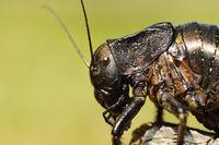 macro image of big bellied cricket ( Bradiphorus dasiphus  )