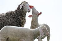 Muttertier und Lämmer, Schafe