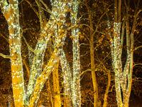 Ahorn im Advent mit Lichterkette