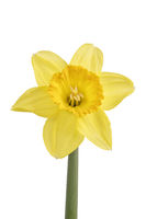 Yellow daffodil (Narcissus) isolated on a white background