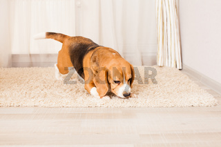 beagle is sniffing something