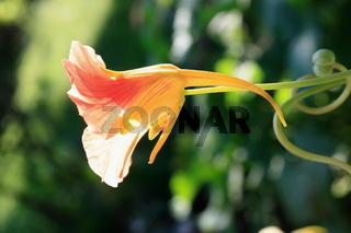 Kapuzinerkresse, Blüte