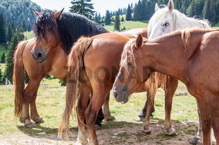 Group of mountain horses