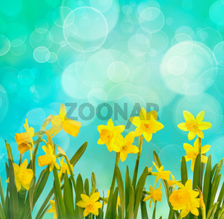 Spring background with daffodils