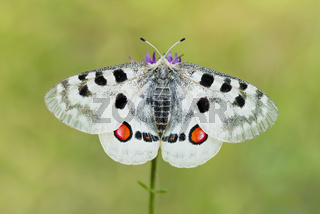 Roter Apollofalter Weibchen, Parnassius apollo lithographicus, Female Apollo Butterfly