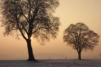 Straßenbäume, Bäume
