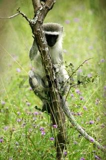 An African Vervet monkey