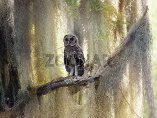 Barred Owlet Perches on a Branch