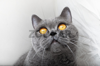 Muzzle of gray British cat