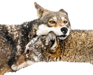 Red Wolf Pair in Snow