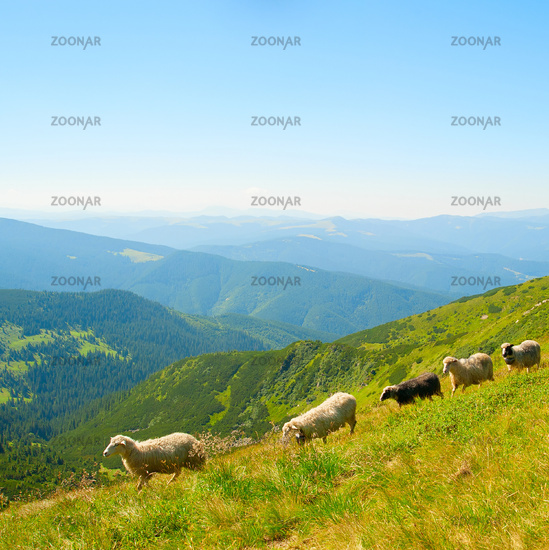 Sheeps hred in the mountains