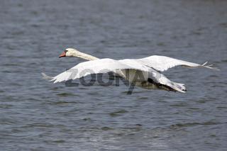 Fliegender Schwan über einem See