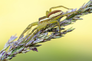 Gerandete-Jagdspinne-(Dolomedes-fimbriatus)2.jpg