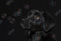 Portrait eines schwarzen Labradors mit Seifenblasen