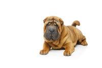 beautiful shar pei puppy