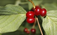 Rote Heckenkirsche Lonicera xylosteum