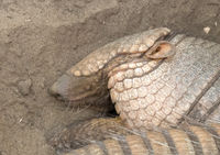 Sleeping armadillo (Chaetophractus villosus) - Selective focus on eye