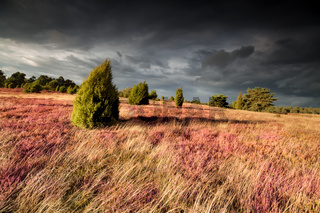 juniper trees on hill with heather