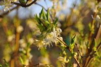 Winter-Heckenkirsche, Lonicera fragrantissima - winter honeysuckle Lonicera fragrantissima is blooming in winter