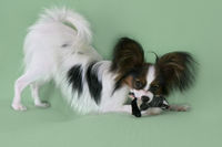 Beautiful young male dog Continental Toy Spaniel Papillon with plush toy on green background