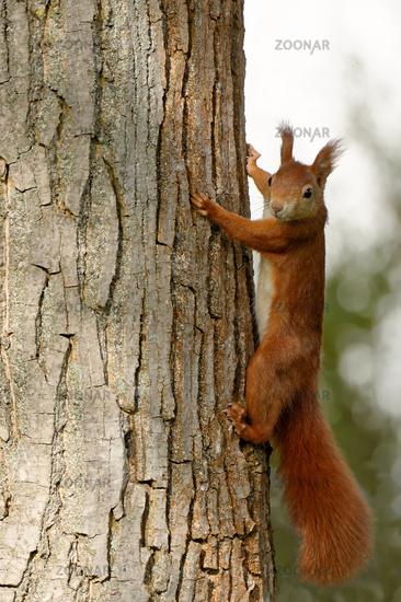 Eichhoernchen am Walnussbaum