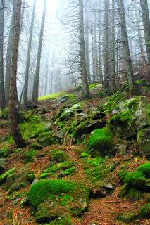 autumnal forest with fir-trees stones and moss