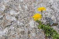 Überlebenskünstler - Habichtskraut in Felsspalte