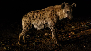 Feeding of spotted hyenas, Harar Ethiopia