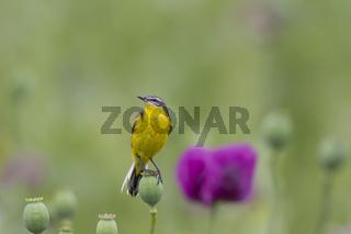 Schafstelze, Motacilla flava, Western Yellow Wagtail