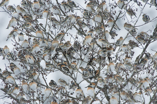 Bergfink, Nordfink / Brambling / Fringilla montifringilla