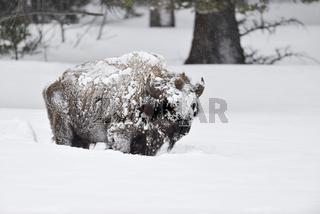 eis- und schneeverkrustet...  Amerikanischer Bison *Bison bison*