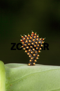Assassin bugs eggs, Aarey Milk Colony , INDIA