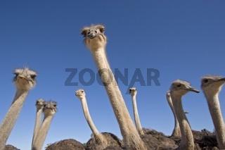 Strauss (Struthio camelus)