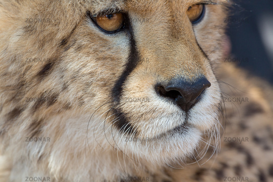 Cheetah Kruger National Park
