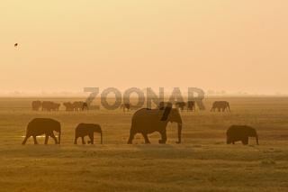Herde afrikanischer Elefanten (Loxodonta africana), Sonnenuntergang, Chobe National Park, Botswana, Afrika, Herd of African Elephants at sunset, Africa
