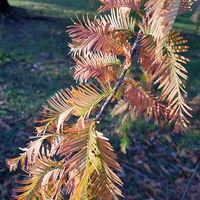 Zweig des Urweltmammutbaums im Herbst