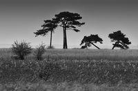 Schief gewachsene Kiefern auf einem Feld