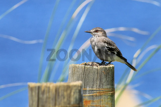 Fuscous flycatcher Cnemotriccus fuscatus sitting on a wooden p