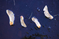 Four seeds of maple on the surface of the water, covered with ice in late autumn. Karpin pond, Gatchina, Russia